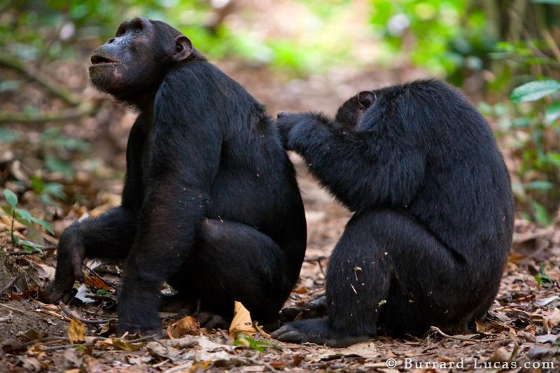 Альтруизм у шимпанзе